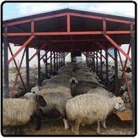 کارآفرینی پرورش ۱۰۰ راس گوسفند